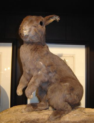 Taxidermy rabbit