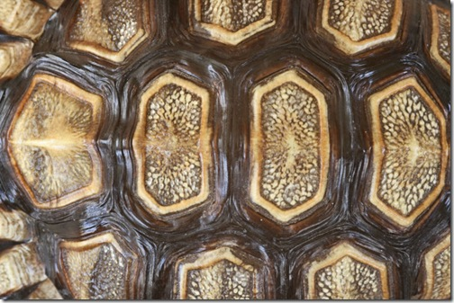 tortoise_shell_trn