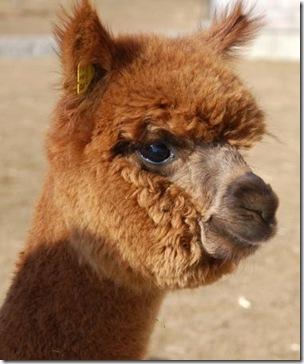 pietro_island alpaca